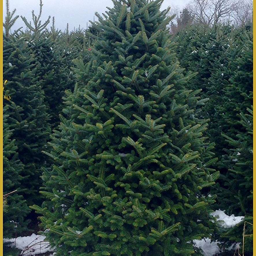 Buy Christmas Tree Seedlings: 5 Places To Buy Live Christmas Trees Online