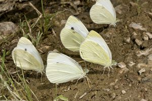 Butterflies on mud puddle