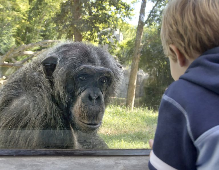 Chimpanzee and boy