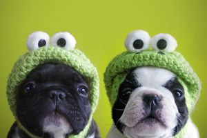 dogs in frog hats