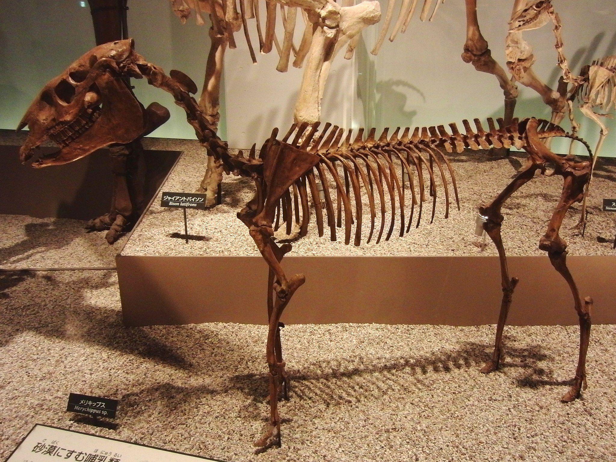 Merychippus skeleton