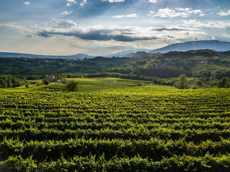 View of Italian vineyard