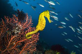 A bright yellow Sea horse on gorgonian sea fan coral