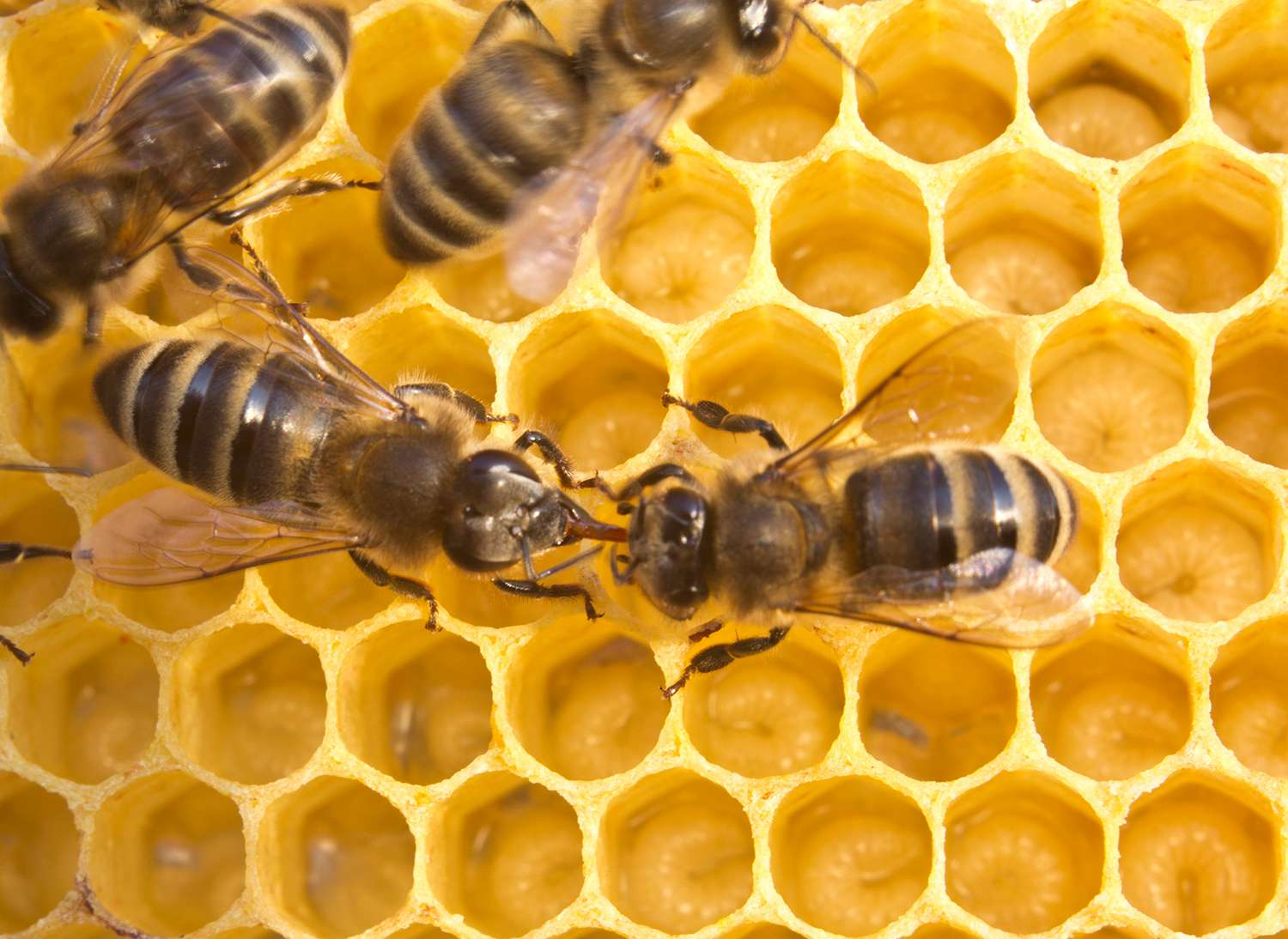 Bees share information, pass each other nectar.