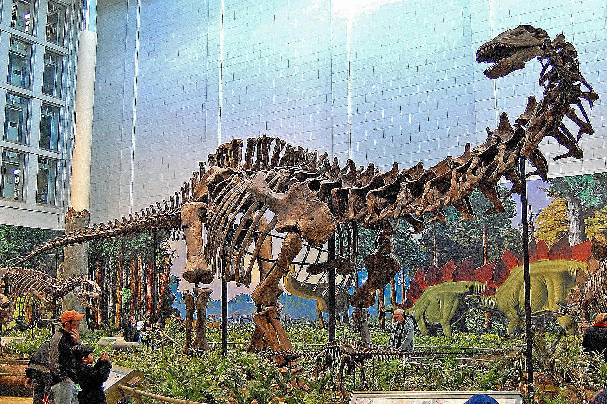 apatosaurus at a museum