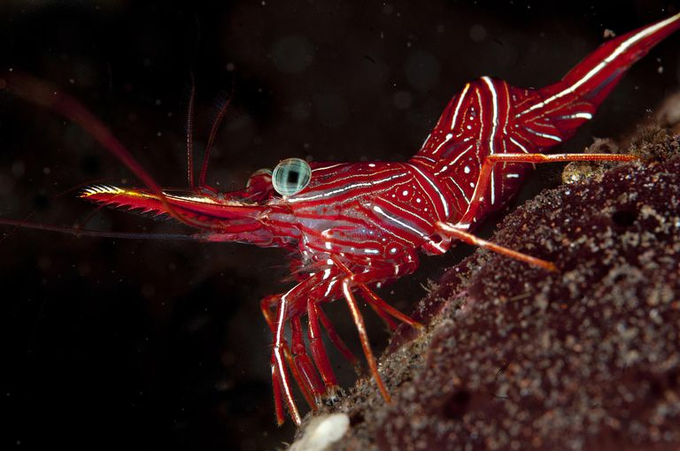 Dancing Shrimp (Rhynchocinetes durbanensis), Indonesia