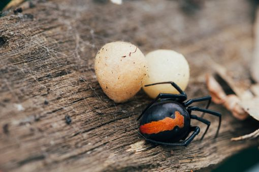 Redback spider with egg sacs