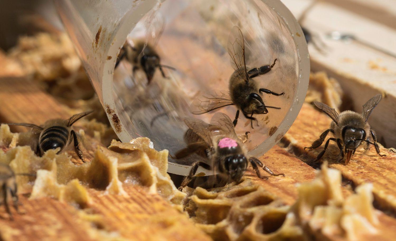 Queen bee (pink) enters hive