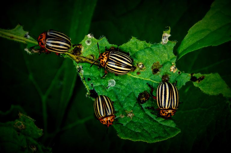 Potato beetles feeding on a leaf.