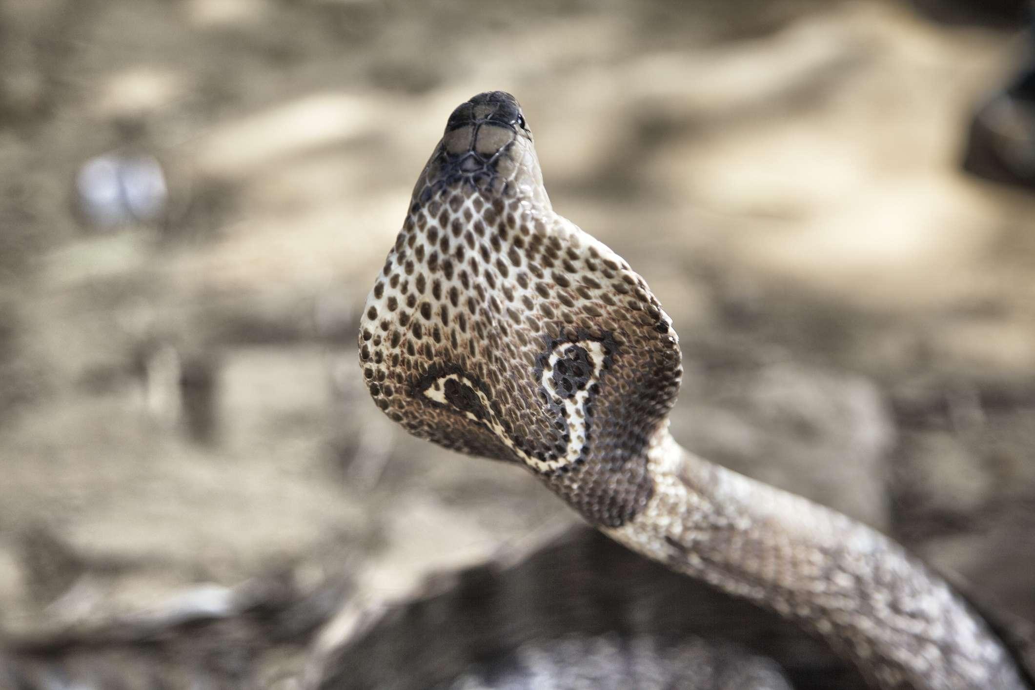King Cobra Snake Facts-8470