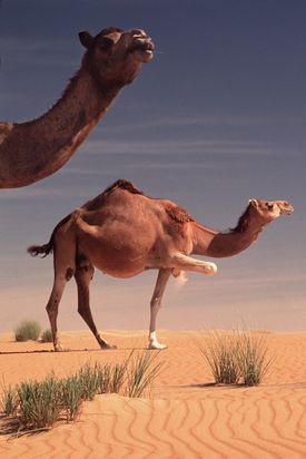 Dromedary camels in the desert, one with raised leg.