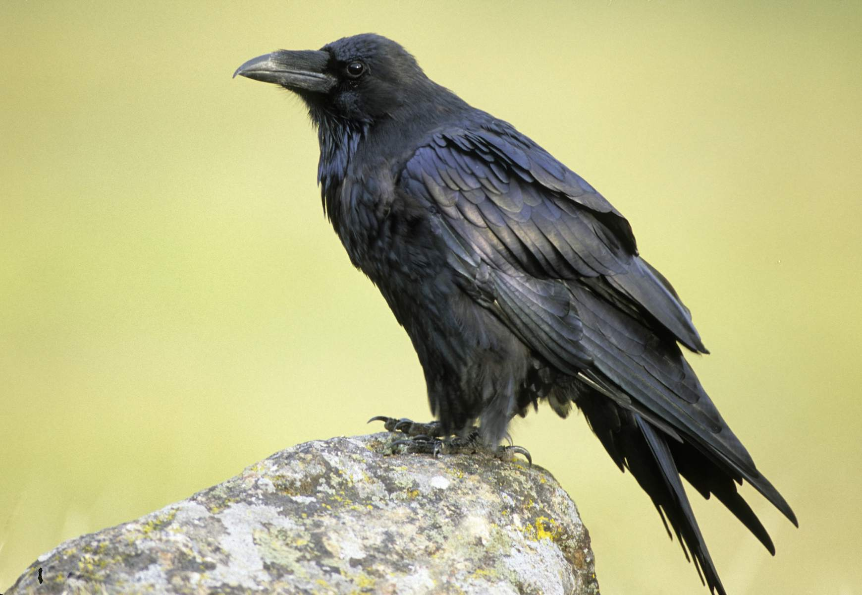 Raven standing on a rock