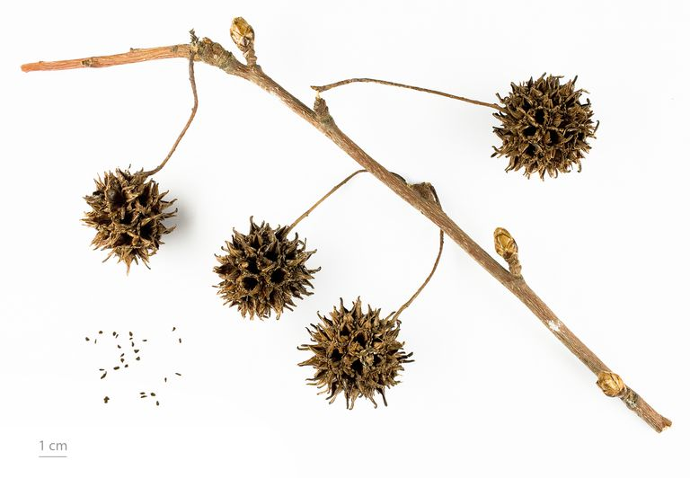 sweetgum tree fruit and seeds