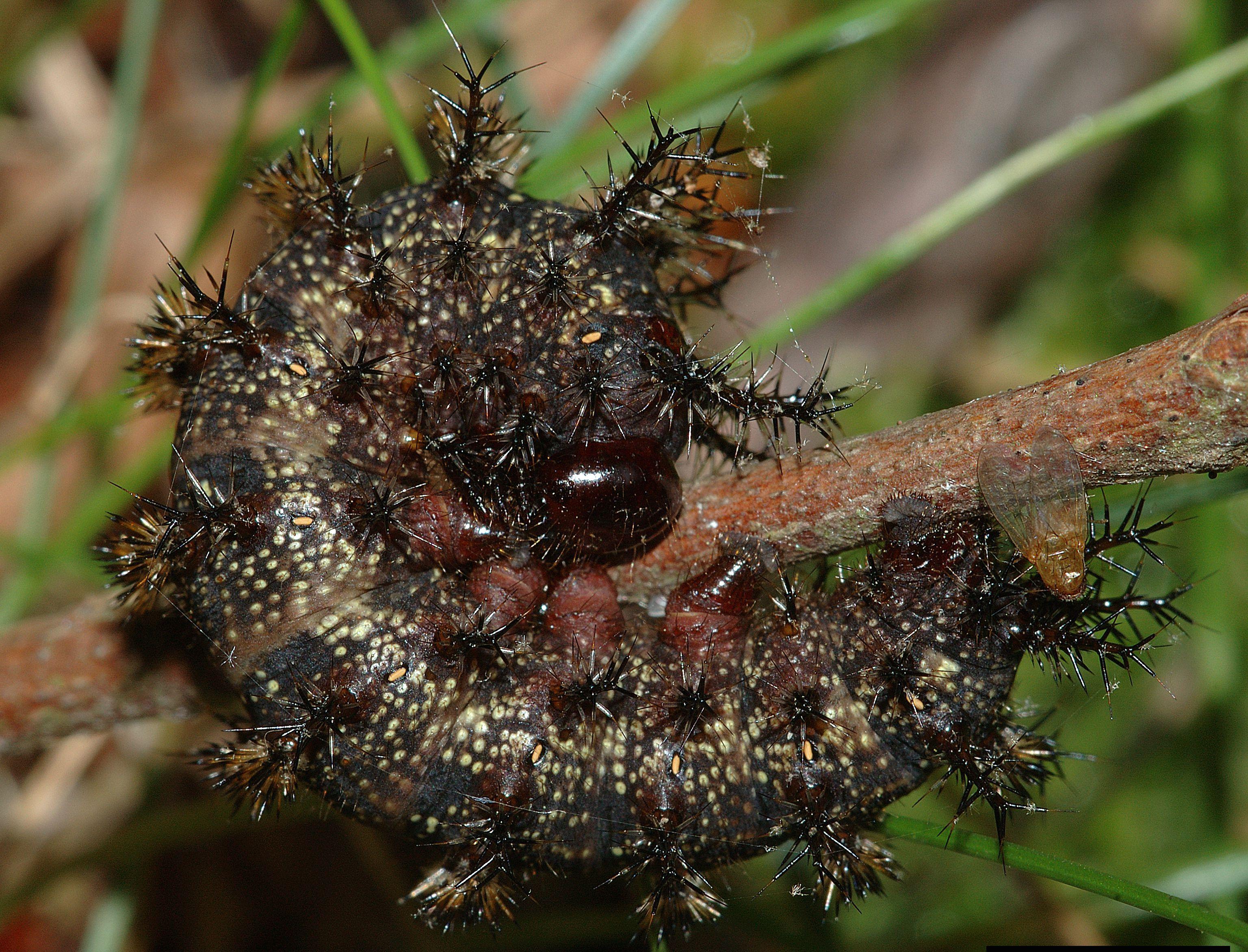 Buck moth caterpillar.