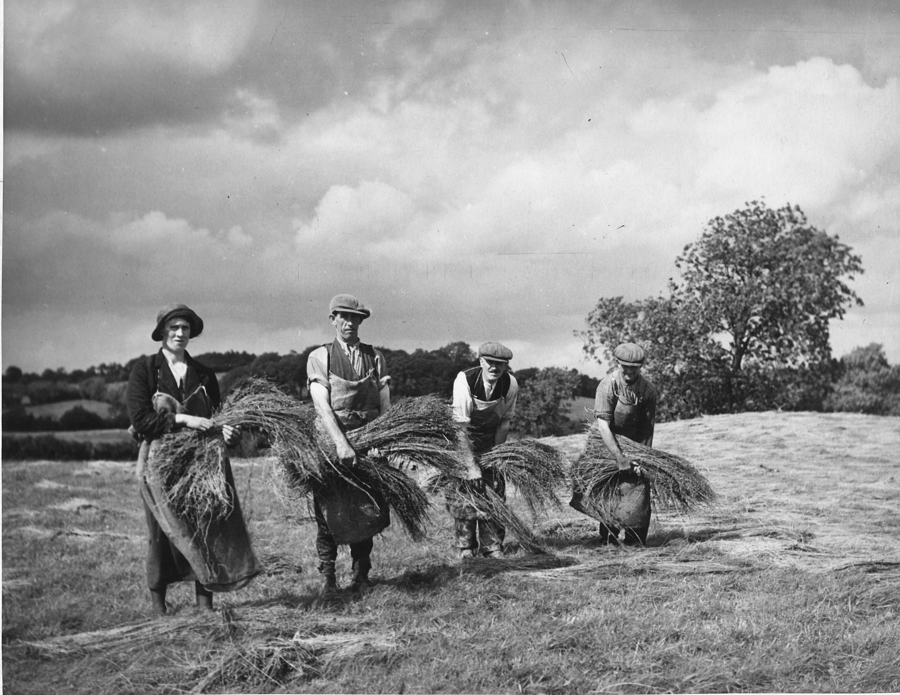 Irish Farm Workers Lay Out Flax to be Field Retted, circa 1940
