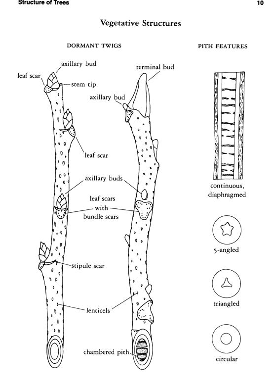 Twig Anatomy for Tree Identification