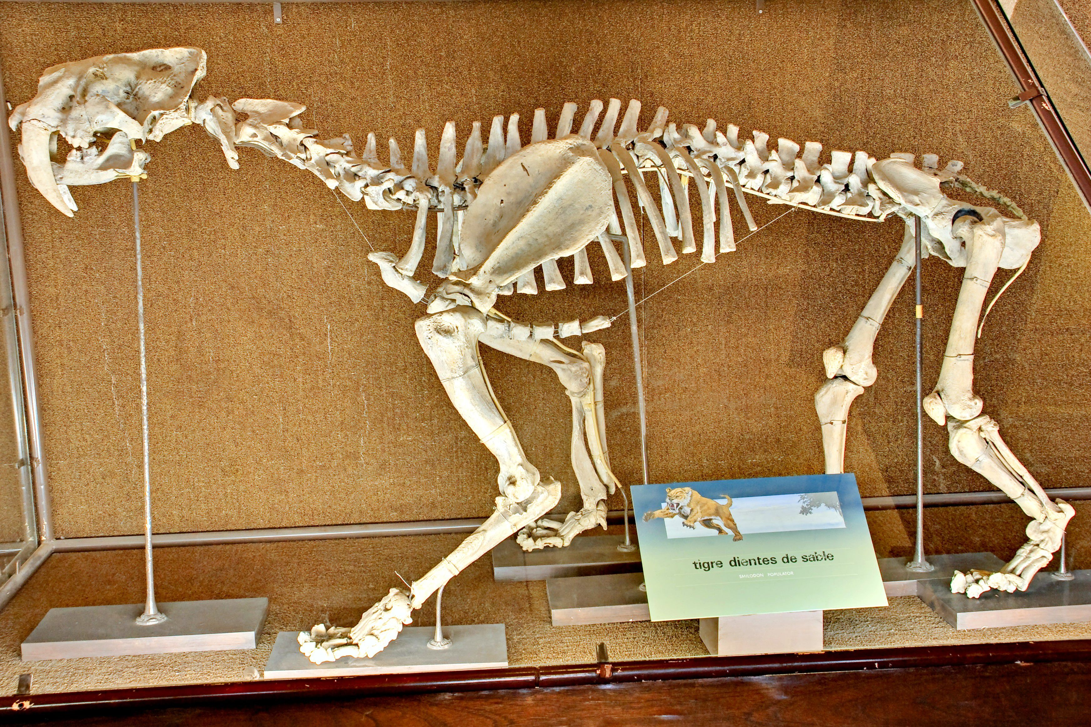 bb6b45e64 Smilodon populator, the largest smilodon species