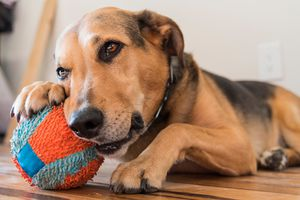 A dog with a beloved ball