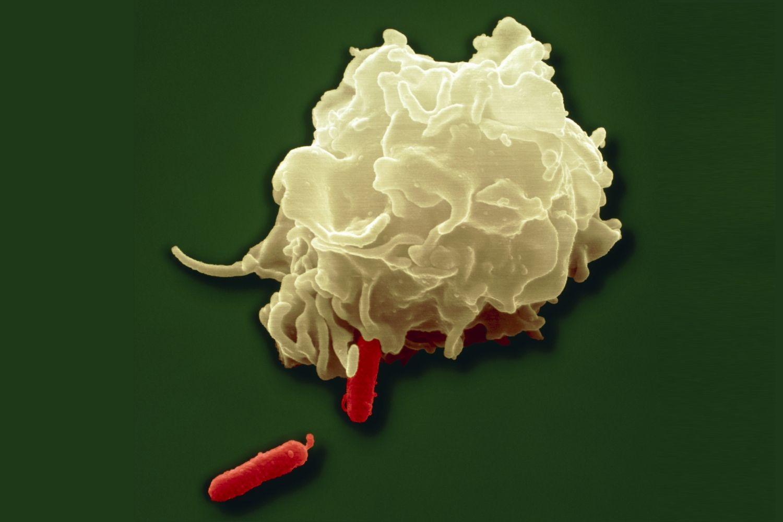 Phagocytosis - White Blood Cell