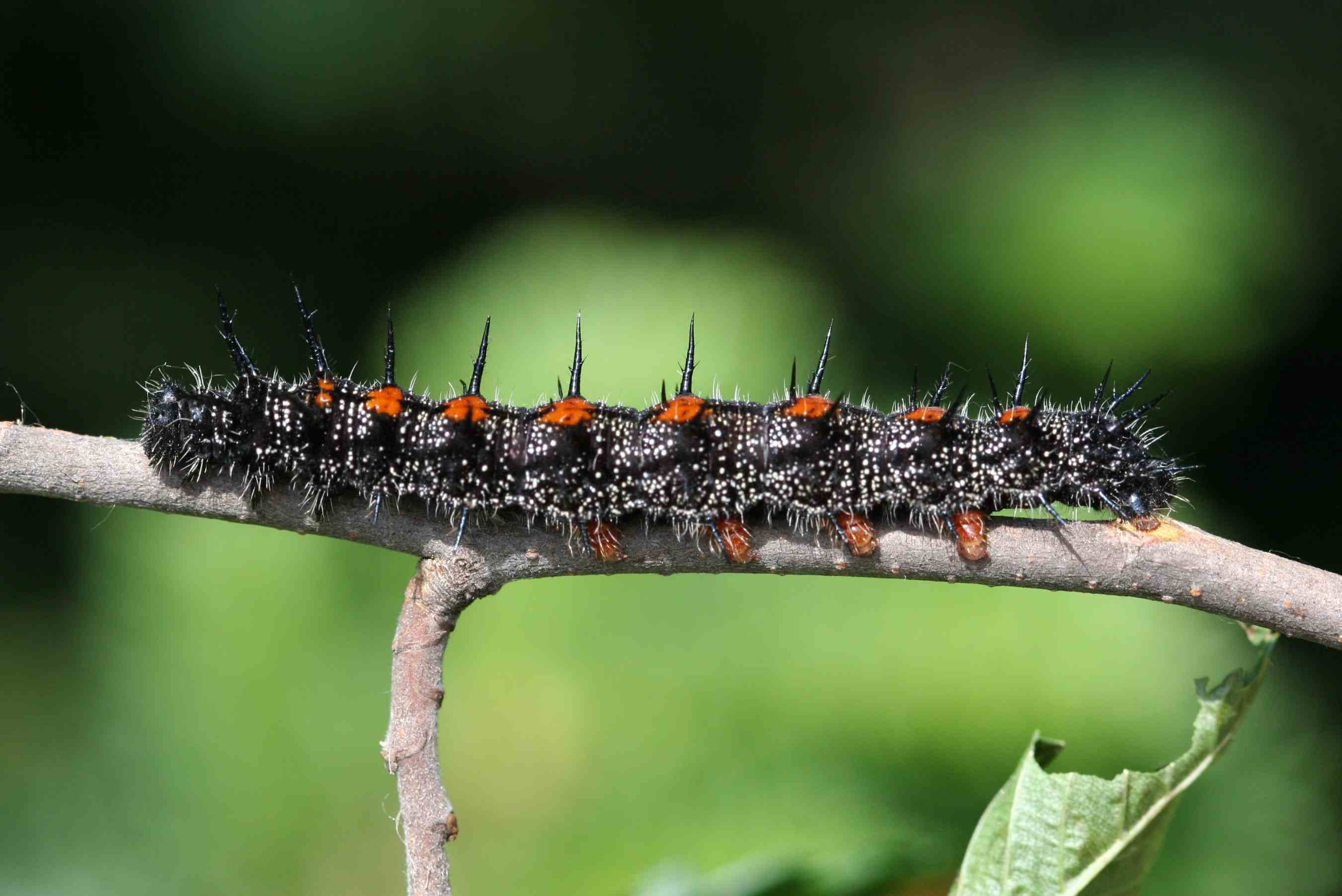 Do Caterpillars Bite or Sting?