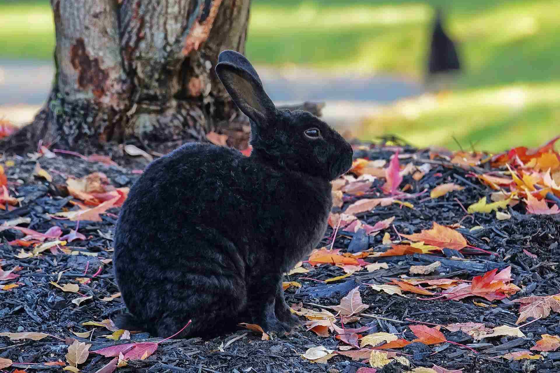 Black rabbit in an autumn landscape.
