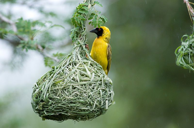 The Southern Masked Weaver