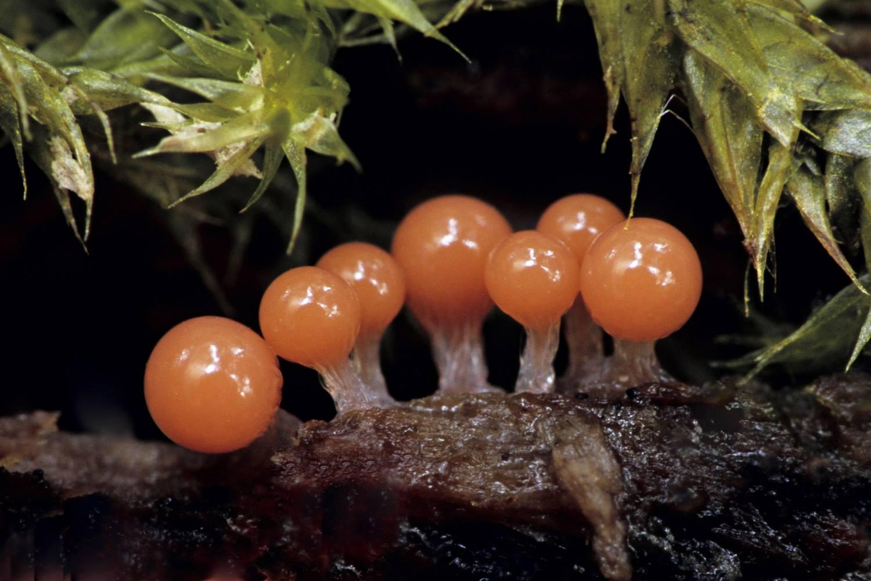 Slime Mold Myxomycetes