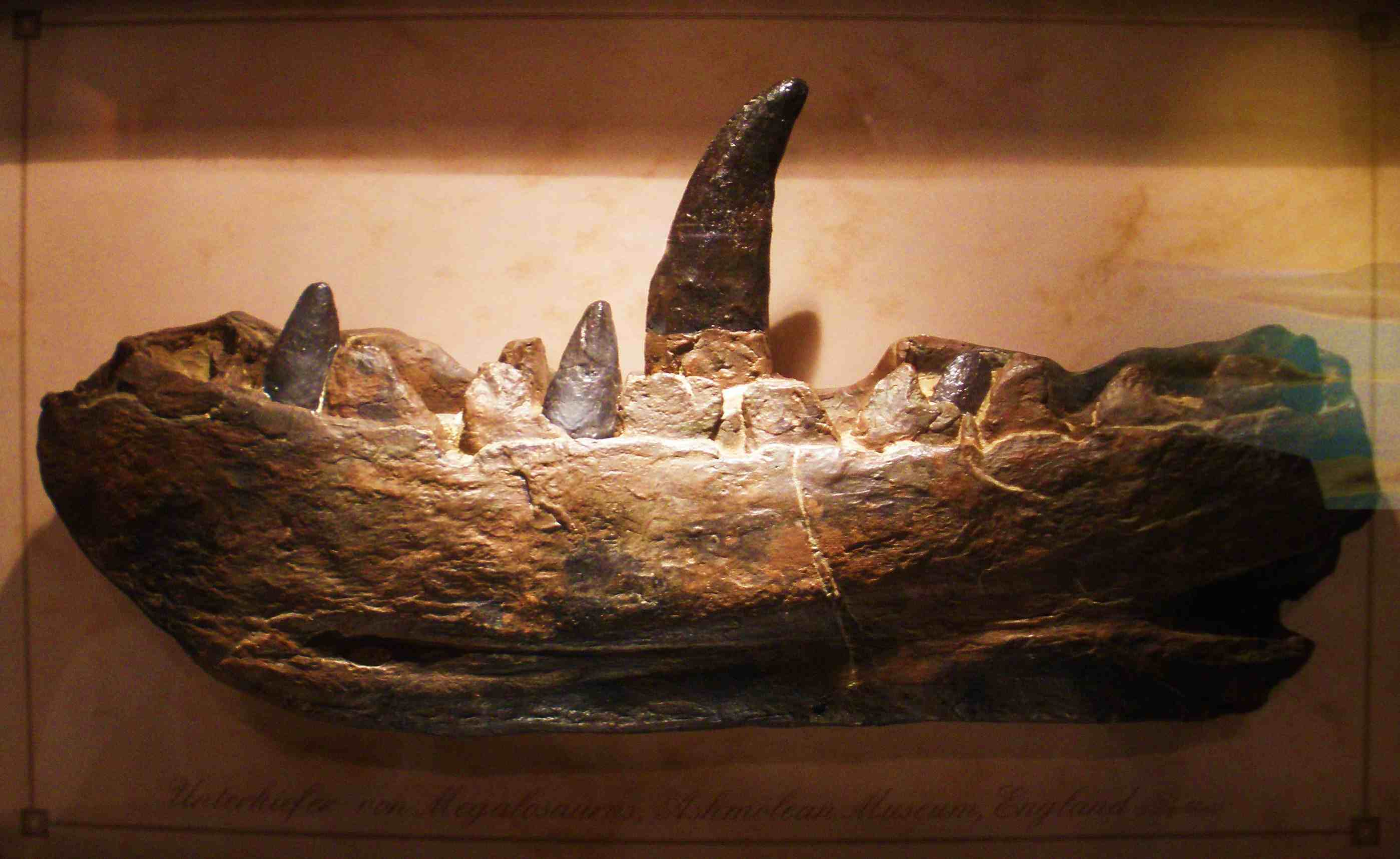 The lower jaw of Megalosaurus on display at a museum.