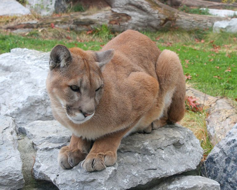A cougar sitting on a rock