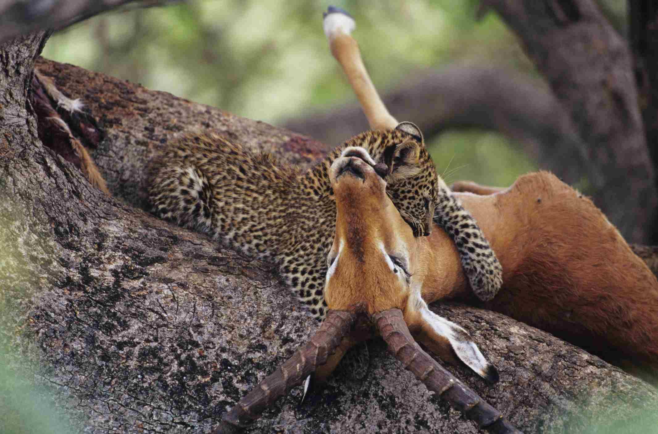 Leopard (Panthera pardus) eating carrion in tree, Kenya