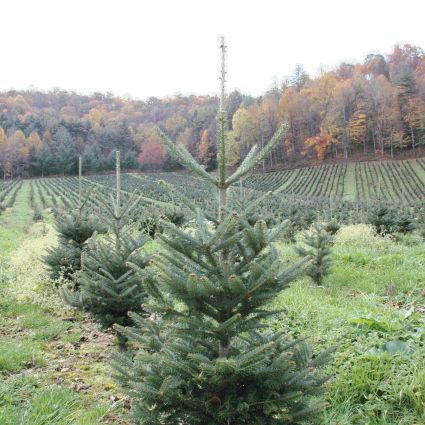 Real Christmas Trees Near Me.Get To Know Your Christmas Tree Tips For Real Christmas