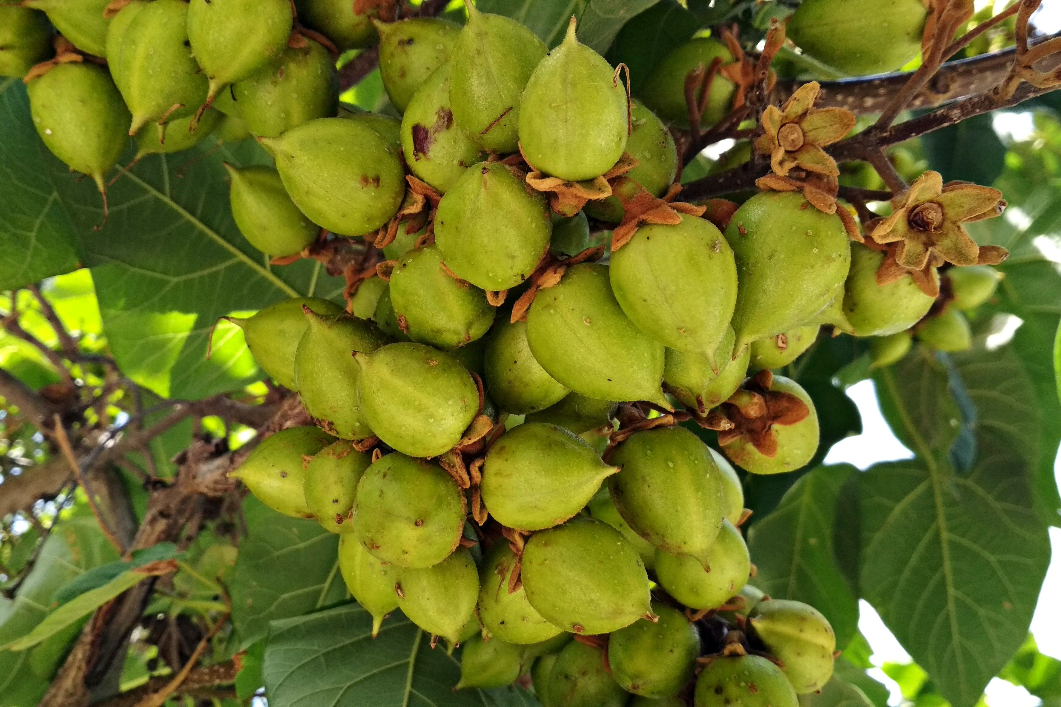 The cluster of pale, nutlike fruit of the princess tree, against heart shaped leaves