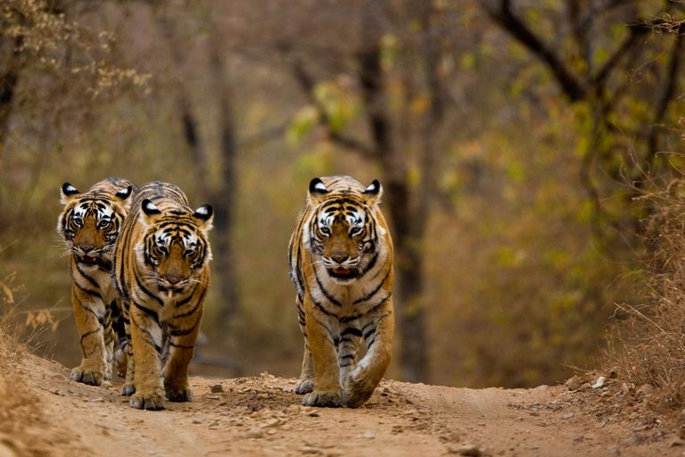Three tigers (Panthera tigris) walking