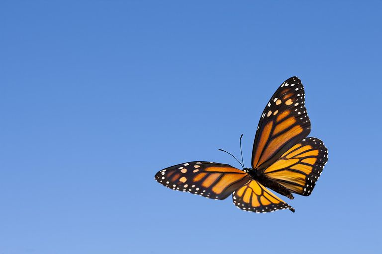 Monarch butterfly in the sky.