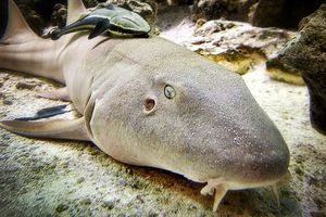 Nurse Shark (Ginglymostoma cirratum)