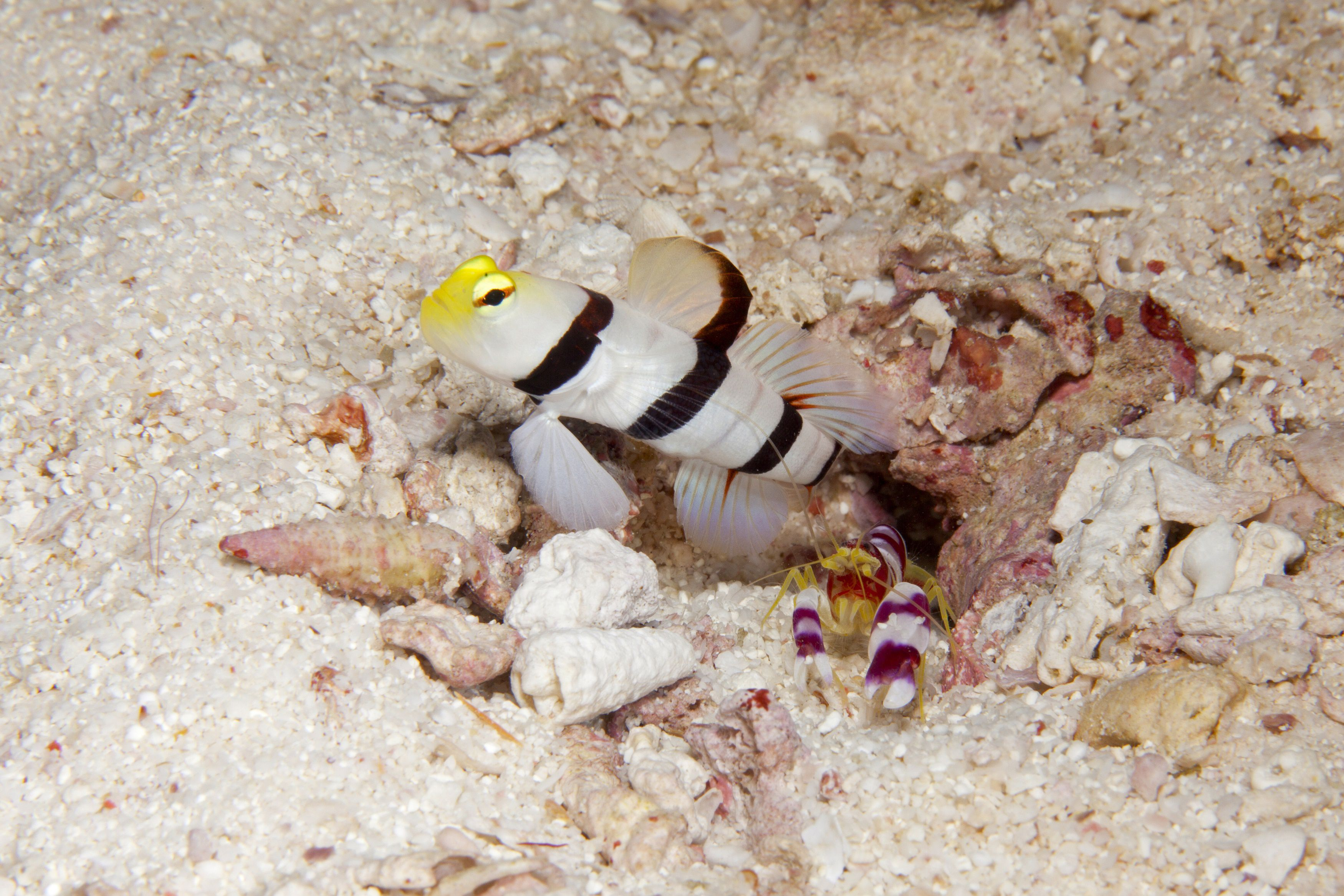 Snapping Shrimp with Yellownose Prawn Goby