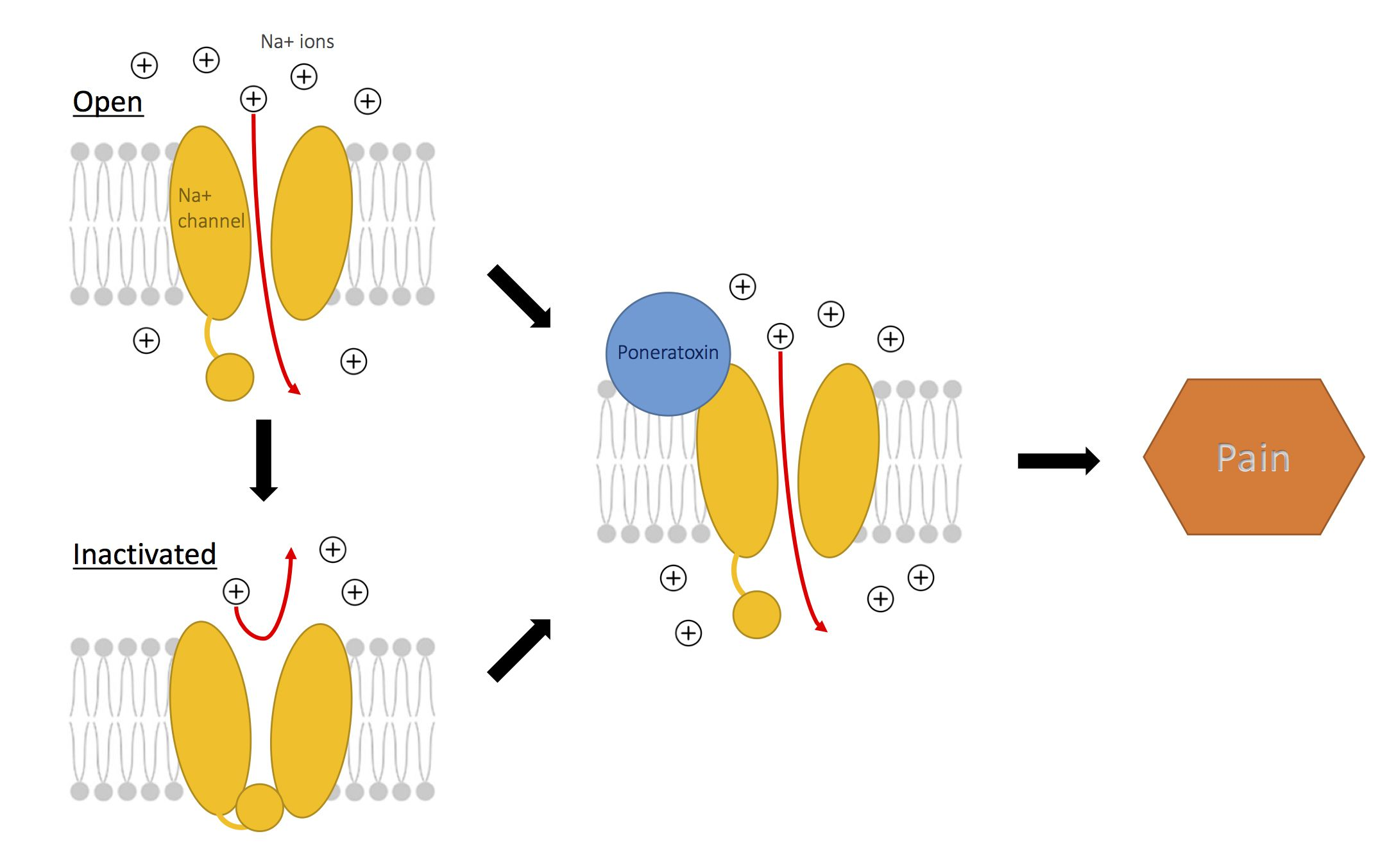 Action of poneratoxin on sodium channels to produce pain.