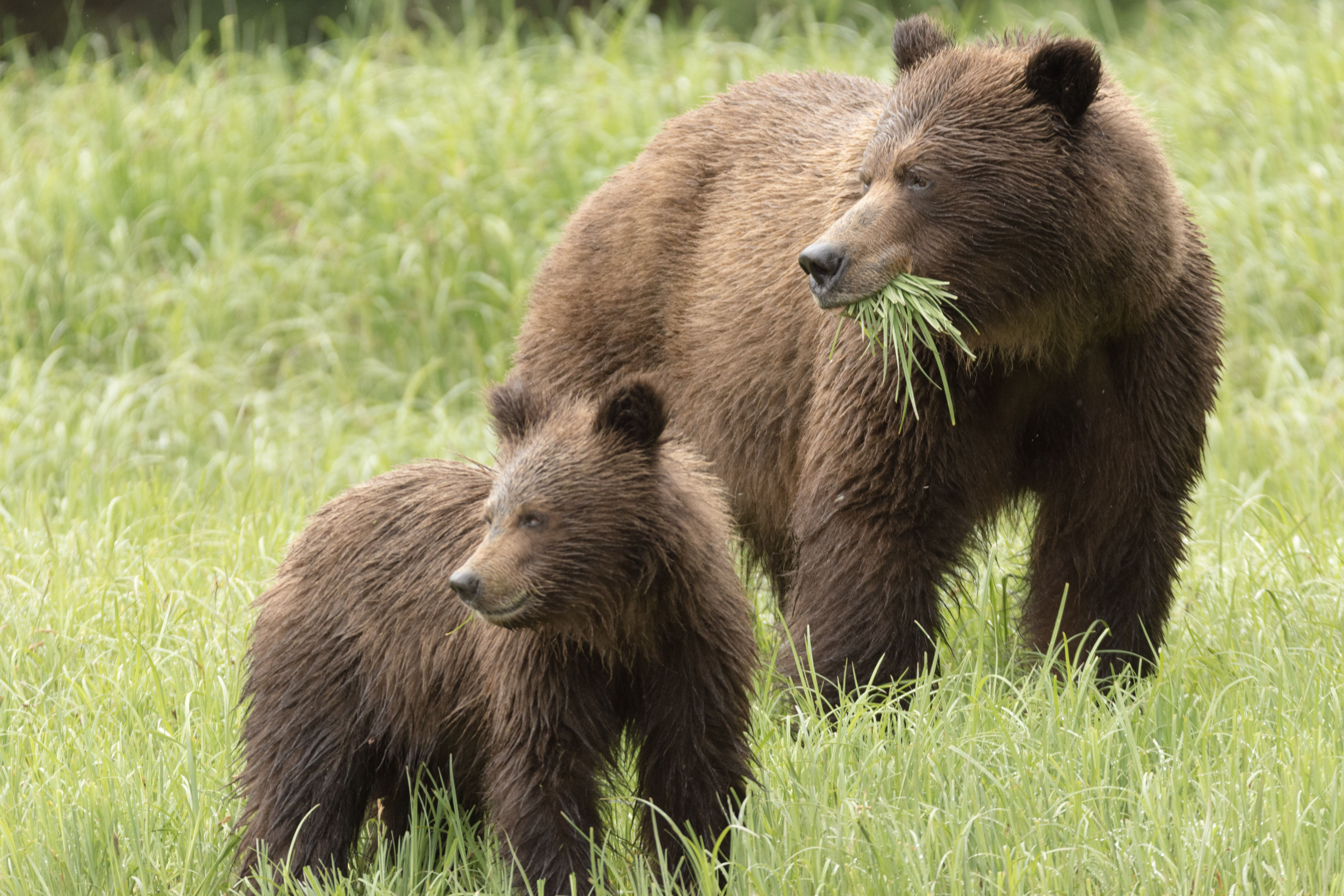 Grizzly bears eat grass as well as meat.
