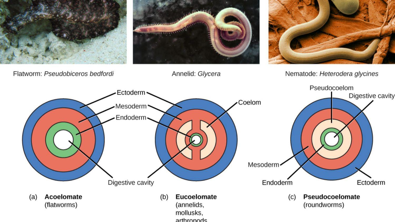 Platyhelminthes 3 exemple Platyhelminthes 5 exemple