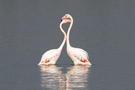 African flamingos interacting