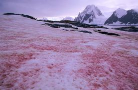 The snow is red due to the presence of Chlamydomonas algae.