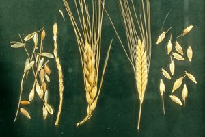 Comparison of Bread (left) and Einkorn (right) Wheat