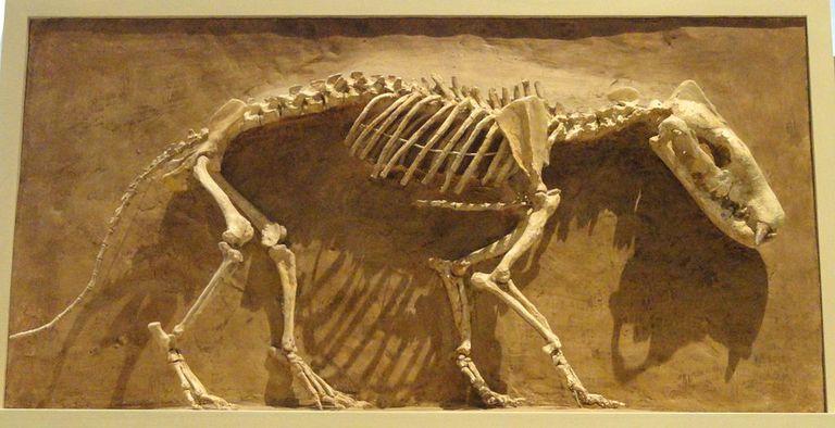 hyaeonodon