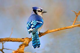 Blue jay on a twig