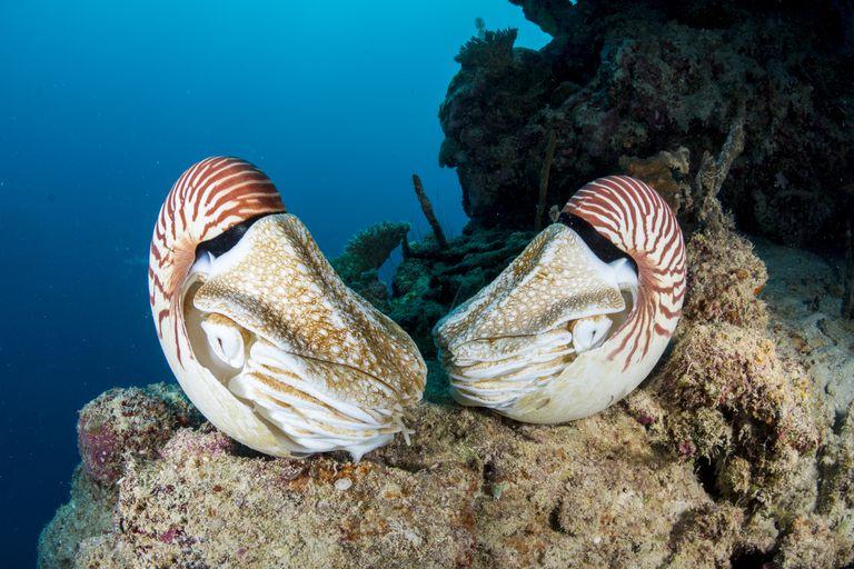 chambered nautilus, Nautilus pompilius, Palau