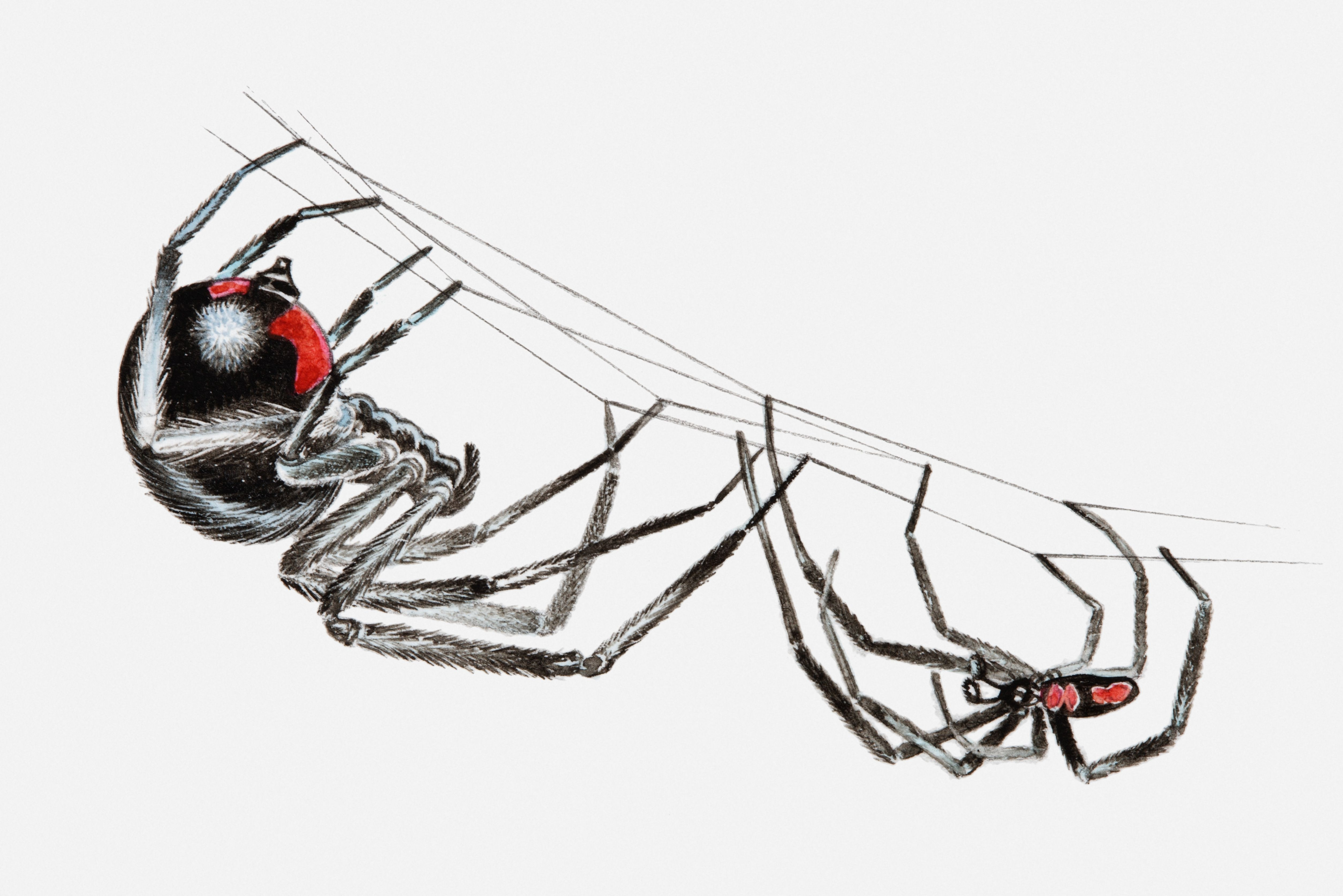 Illustration of pair of black widow spiders (Latrodectus sp.), larger female and smaller male, hanging upside down from a spider web in courtship ritual.