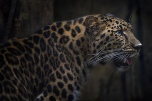The American cheetah