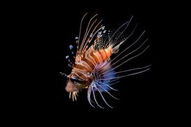 The lionfish is a good example of a type of scorpion fish.