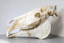 skull of a horse