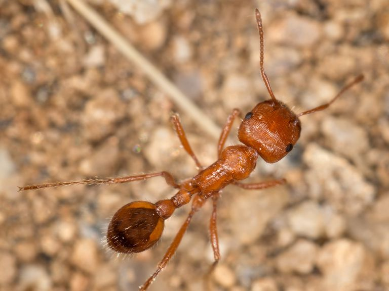 The most venomous insect in the world is the harvester ant.